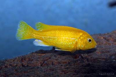 Labidochromis sp Yellow